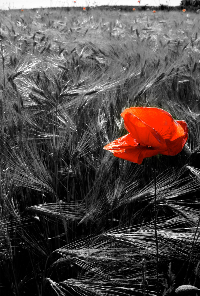 Lone poppy in a wheat field
